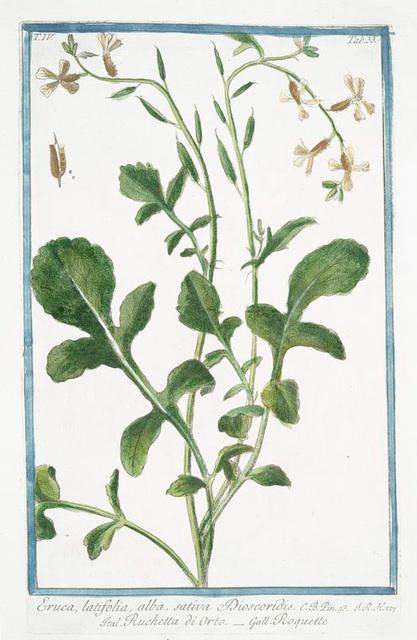 Eruca, latifolia, alba, sativa Discoridis = Ruchetta di Orto = Roquette. [Arugula, Rocket, Rocket Salad]