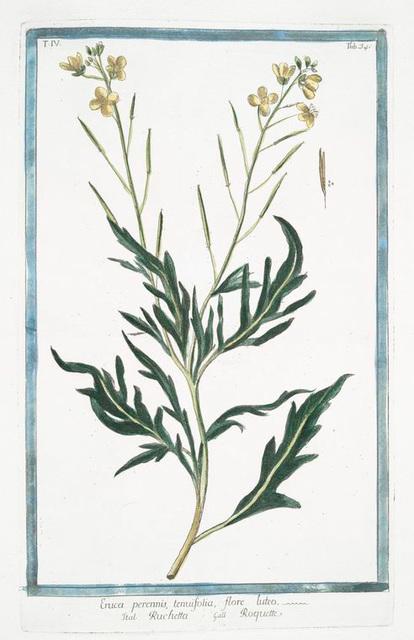 Eruca, perennis, tenuifolia, flore luteo + Ruchetta = Roquette. [Arugula]