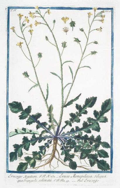 Erucago Segetum = Eruca Monspeliaca, Siliquà quadrangula, echinatà = Erucago. [Corn Rocket]