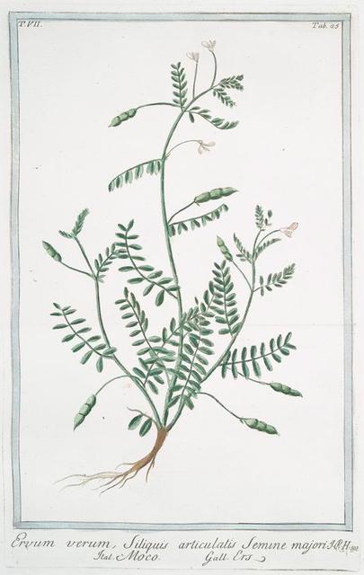 Ervum verum, siliquis articulatis semine majori = Moco = Ers. [Lentil]