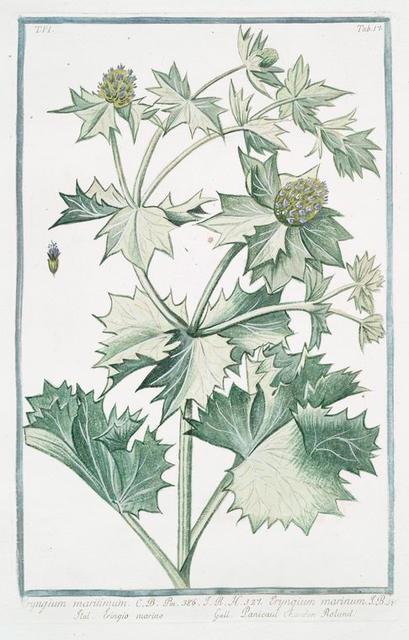 Eryngium maritimum = Eryngium marinum = Eringio marino = Panicaut Chardon Rolland. [Seaside eryngo; Sea holly]