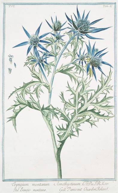 Eryngium montanum.
