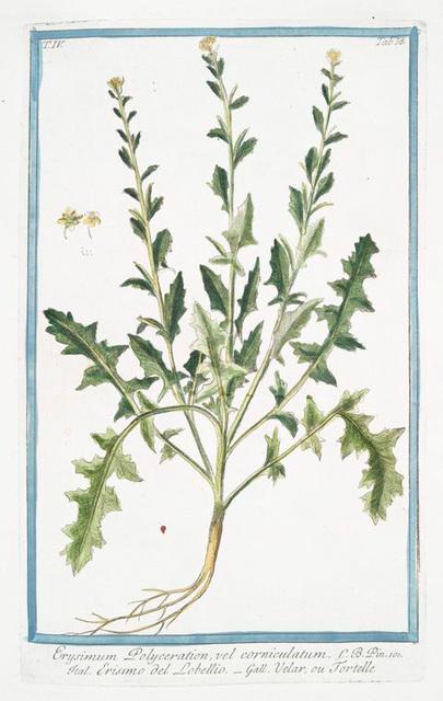 Erysimum Polyceration, vel corniculatum = Erisimo del Lobellio = Velar, ou Tortelle [Wall flower with horns]