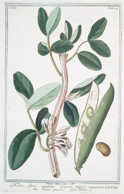 Faba, flore candido, lituris nigris conspicuo = Fava grossa = Fave. {Fava bean