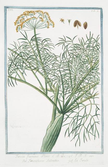 Ferula faemina Plinii = Fenocchione Salvatico = La Ferule. [Giant fennel]