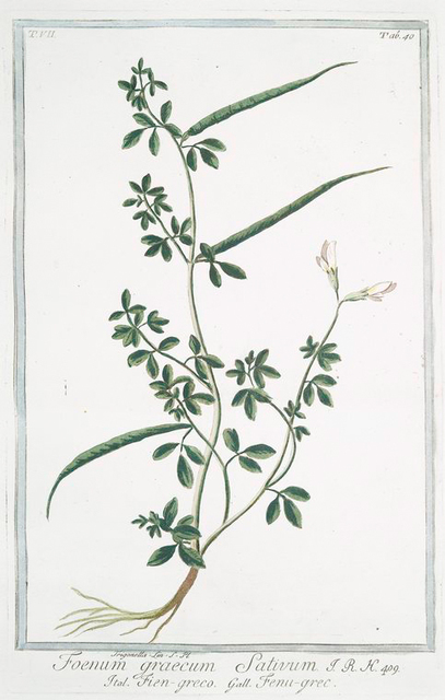 Foenum graecum sativum = Fien-greco = Fenu-grec. [Fenugreek]