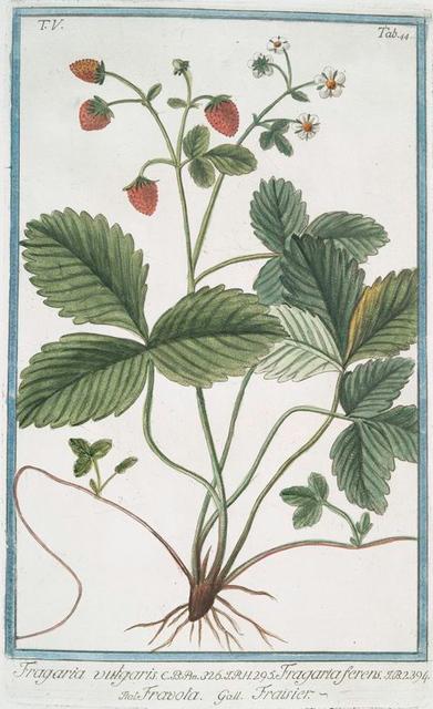 Fragaria vulgaris = Fragarta ferens == Fravola = Fraisier. [Strawberry]