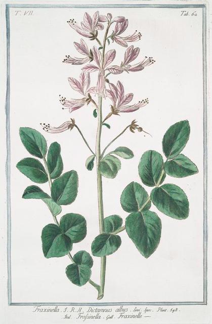 Fraxinella = Dictamnus albus = Frassinella = Fraxinelle. [Dittany, Burning bush, Gas plant]