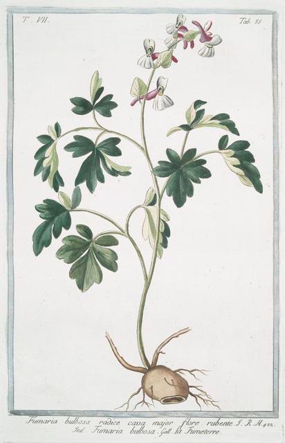 Fumaria bulbosa, radice cava major, flore rubente = Fumaria bulbosa = La Fumeterre. [ Bulbous fumitory]