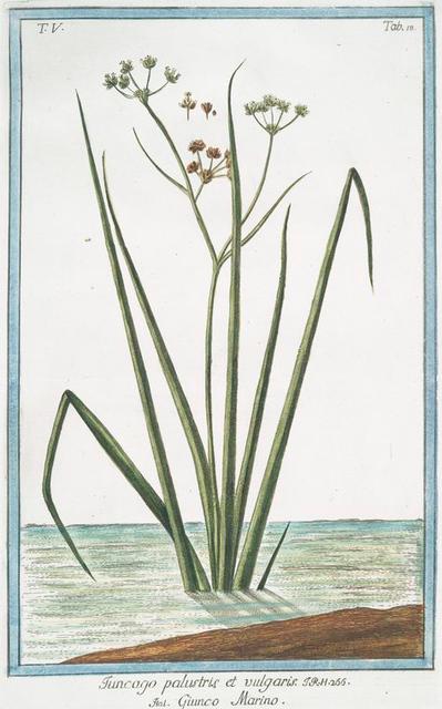Funcago palustris et vulgaris = Guinco Marino. [Sea-rush]