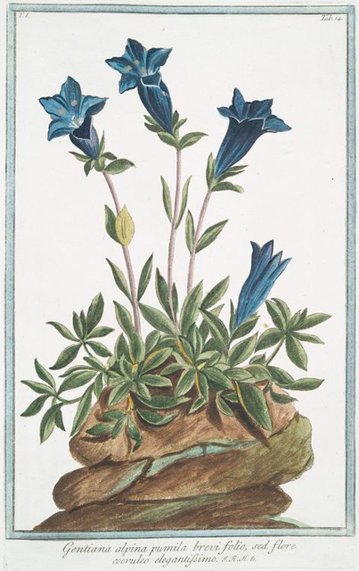 Gentiana alpina pumila brevi folio, sed flore coeruleo elegantissimo. [Southern gentian]