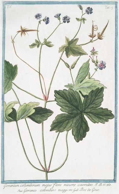 Germanium columbinum majus flore minore caeruleo = Geranio colombino maggiore = Bec de Grue. [longstalk cranesbill]