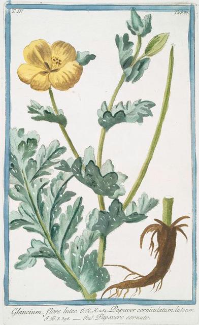 Glaucium , flore luteo = Papaver corniculatium, luteum = Papavero cornuto. [Yellow horned poppy flower]