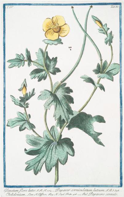 Glaucium, flore luteo = Papaver corniculatum, luteum = Chelidonium = Papavero cornuto. [Yellow horned Poppy]