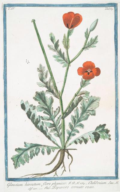 Glaucium hirsutum, flore phoeniceo = Chelidonium = Papavero cornuto rosso. [Celandine or Horne poppy[]
