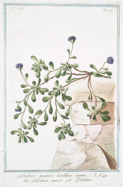 Globularia montana, humillima repens = Globularia minore = Globulaire.