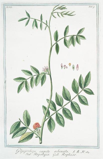 Glycyrrhiza capite echinato = Regolizia = Reglisse. [wild liquorice; wild licorice]
