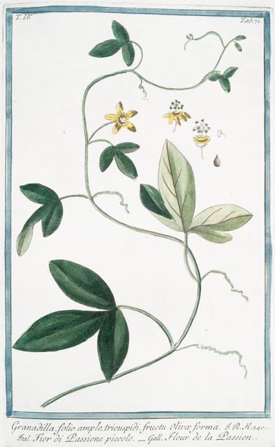 Granadilla, folio amplo, tricuspidi, fructu Olivæ forma = Fior di Passione piccolo = Fleur de la Passion. [Passion flower]