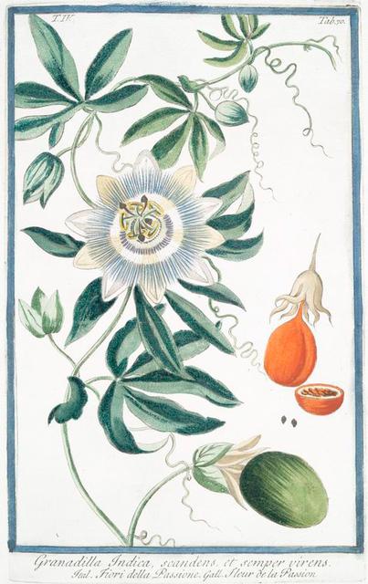 Granadilla Indica, scandens, et semper virens = Fiori della Passione = Fleur de la Passion. [Passion fruit]
