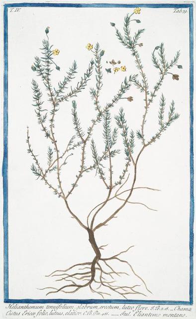 Helianthemum tenuifolium, glabrum, erectum, luteo flore = Chama Cistus Ericæ folio, luteus, elatior = Eliantemo montano. [Slender Rock-rose]