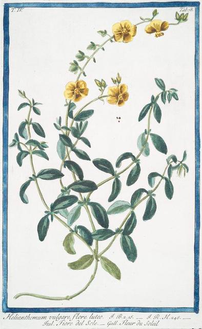 Helianthemum vulgare, flore luteo = Fiore del Sole = Fleur du Soleil. [Rock-rose]