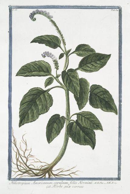 Heliotropium Americanum, cæruleum, foliis Horminii = Herbe aux verrues. [Heliotrope, Cherry pie]