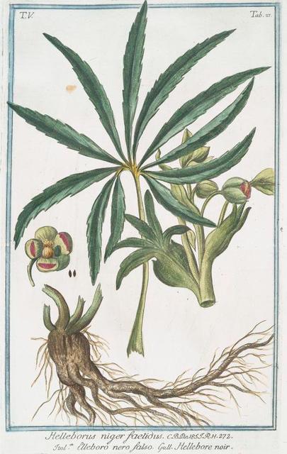 Helleborus niger foetidus = Elleboro nero falso = Hellebore noir. [Stinking hell-wore, Setter wort]