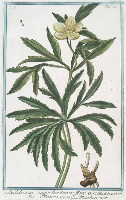 Helleborus niger hortensis flore viridi = Elleboro nero = L'Hellebore noir. [Christmas rose, Green hellbore]