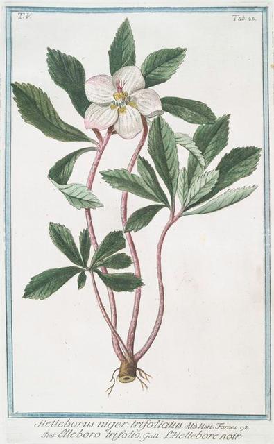 Helleborus niger trifoliatus = Elleboro trifolio = L'Hellebore noir. [Stinking hell-wore, three leaved]