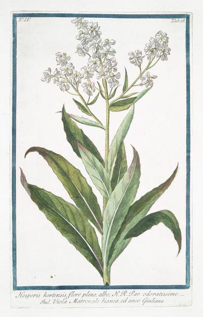 Hesperis hortensis, flore pleno, albo, H.R. Par. Odoratissimo = Viola Matronale bianca, ed anco Giuliana [ White Sweet Rocket]