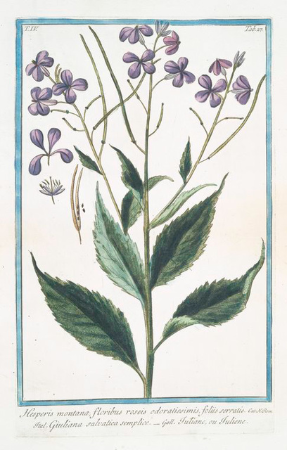 Hesperis montana, floribus roseis odoratissimis, foliis serratis = Giuliana salvatica semplice = Tutiane, ou Tuliene. [Sweet Rocket]