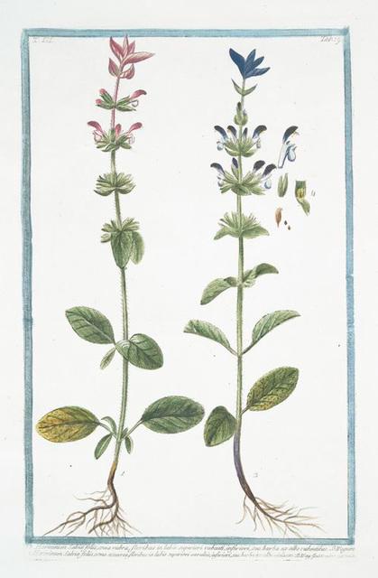 Horminum Salviæ foliis, coma rubra, floribus in labio superiori rubenti, inferiori, seu barba ex albo rubentibus ... [Annual Sage]