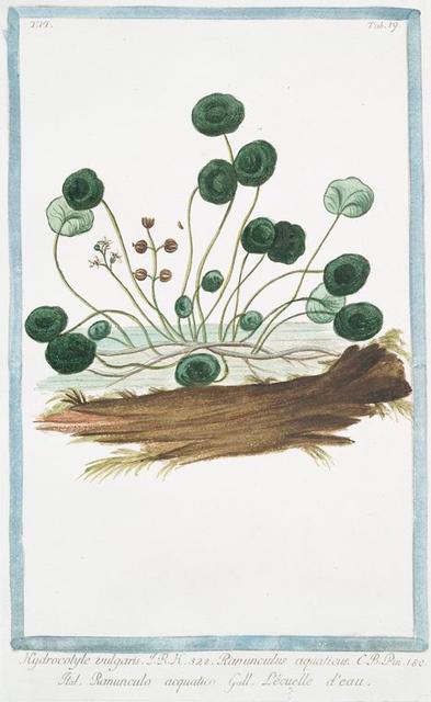 Hydrocotyle vulgaris = Ranunculus aquaticus = Ranunculo acquatico = L'ecuelle d'eau. [Marsh Penny]