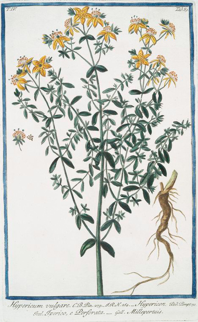 Hypericum vulgare = Hypericon = Iperico, e Perforata = Millepertuis. [St. John's-wort]