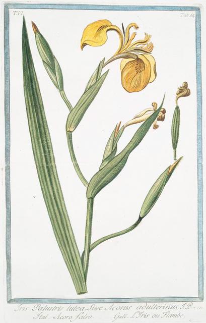 Iris palustris, lutea, sive Acorus adulterinus = Acoro falso = L'Iris, ou Flambe. [Yellow giglio]