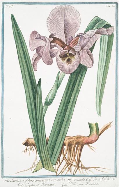 Iris Susiana, flore maximo, ex albo nigricante = Giglio di Faraone = L'Iris, ou Flambe.