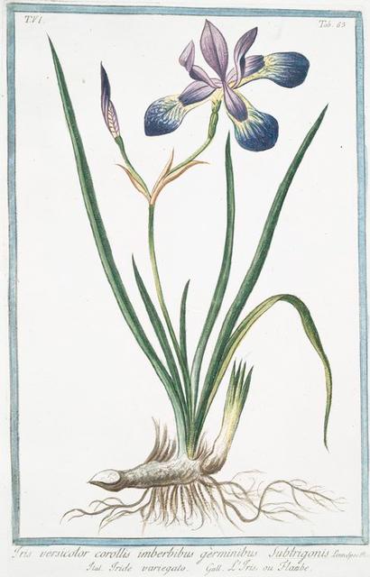Iris, versicolor corollis imberbibus germinibus, Subtrigonis = Iride variegato = L'Iris, ou Flambe. [Blue Flag. Poison Flag. Flag Lily. Liver Lily. Snake Lily. Dragon Flower. Dagger Flower. Water Flag]
