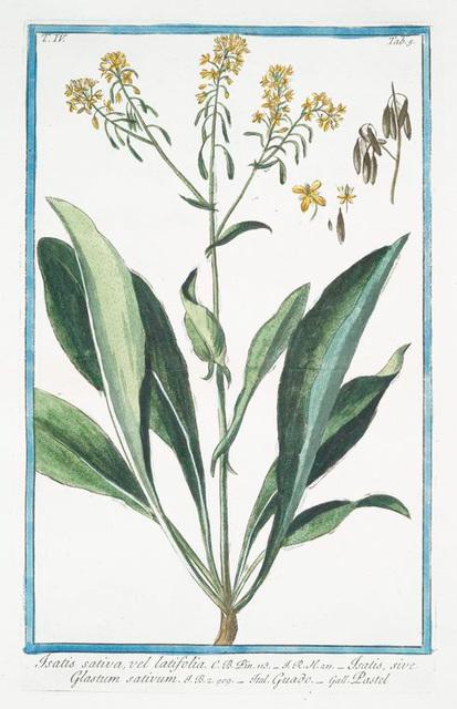 Isatis sativa, vel latifolia = Isatis, sive Glastum sativum = Guado = Pastel. [Woad]