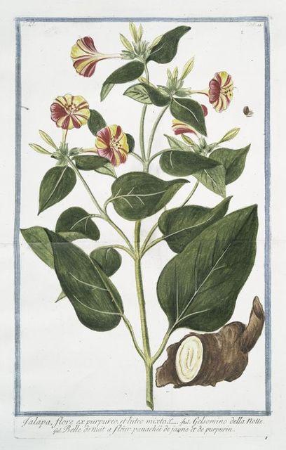 Jalapa, flore ex purpureo, et lutes mixto = Gelsomino della notte = Belle de nuit a fléur panachéé de jaune et de purpurin.