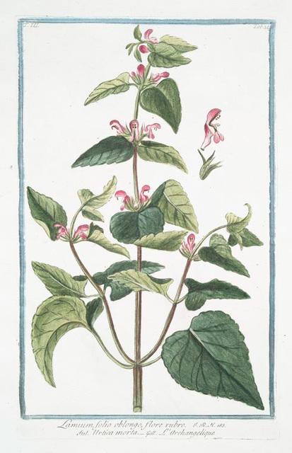 Lamium, folio oblongo, flore rubro = Urtica morta = L'Archangelique.[Dead-nettle]