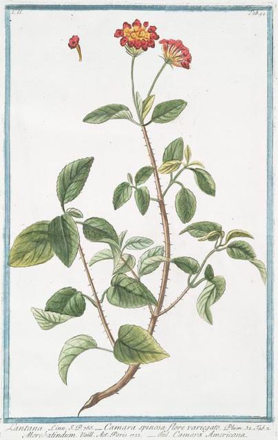 Lantana = Camara spinosa, flore varoegatp = Morobatindum = Camara Americana.[Jamaican Mountain Sage]