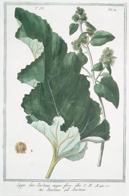 Lappa sive Bardana, major flore albo = Bardana = Bardane. [Burdock, clotbur, cocklebur, grass burdock, hardock, hareburr, hurrburr, turkey burrseed]