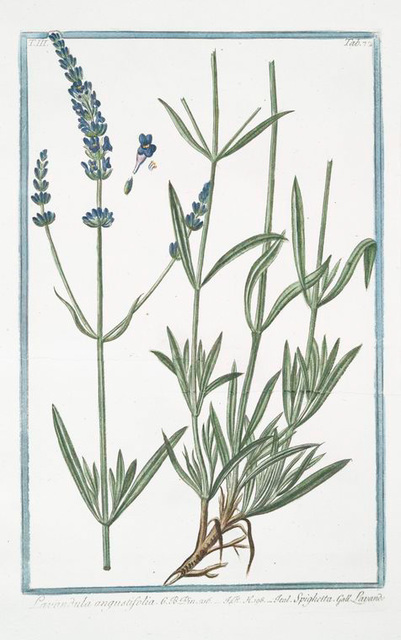 Lavandula angustifolia = Spighetta = Lavande. [English Lavander]