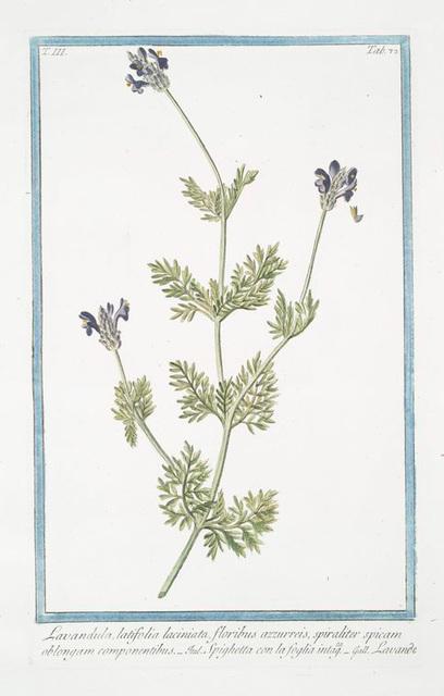Lavandula, latifolia laciniata, floribus azzurreis, spiraliter spicam oblongam componentibus = Spighetta con la foglia intagta = Lavande. [Spike Lavender]