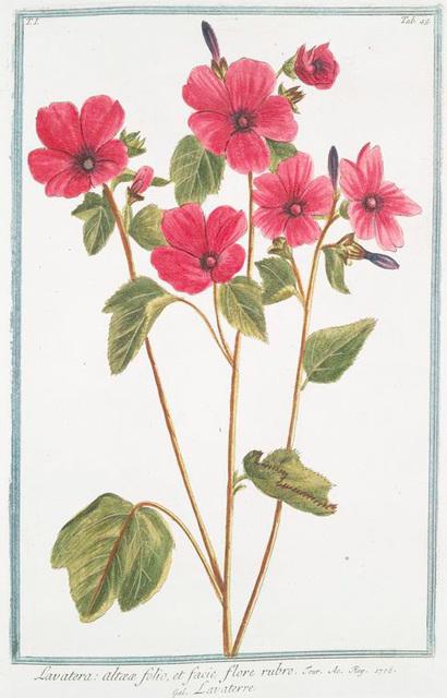 Lavatera, altææ folio, et facie flore rubro = Lavaterre. [Tree Mallow]
