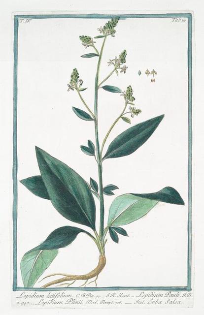 Lepidium latifolium = Lepidium Pauli = Lepidium Plinii = Erba Slsa. [Wide-leaf cress]