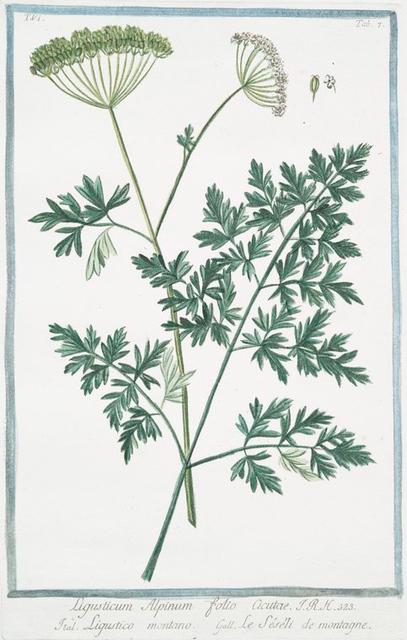 Ligusticum Alpinum folio acutae = Ligustico montano = Lle Séséli de montagne. [Mountain lovage]