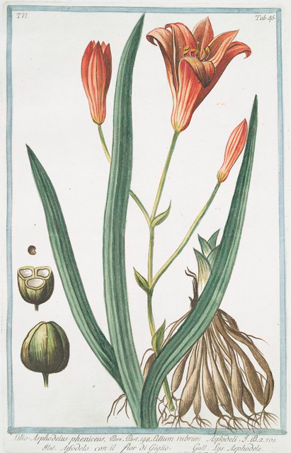 Lilio Asphodelus-pheniceus = Lilium rubrum = Asfodelo con il fior di Giglio = Lys Asphodele. [Day lily]