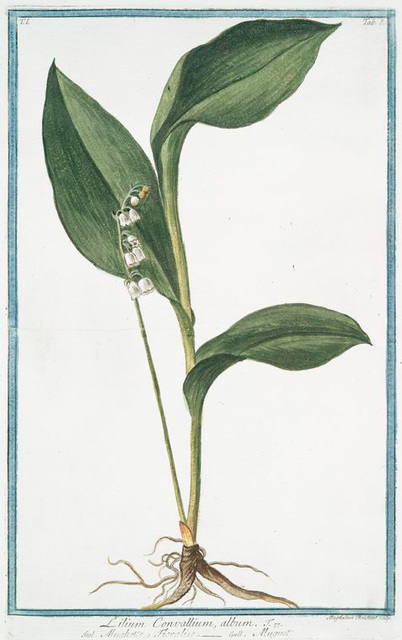 Lilium Convallium, album = Mughetto Floralise = Muguet. [Lily of the Valley]