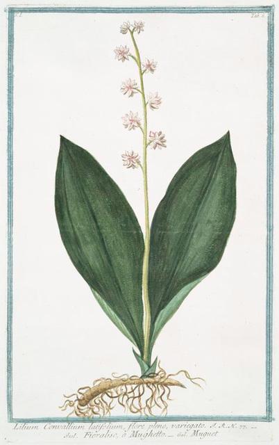 Lilium Convallium latifolium, flore pleno, variegato = Fioraliso, o Mughetto = Muguet.